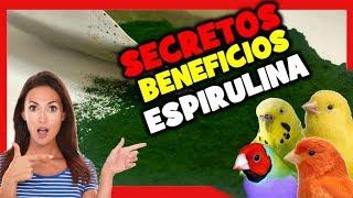 Espirulina Para Canarios Y Pajaros Exoticos 🐤 Remedios Caseros Para Canarios Jilgueros Periquitos