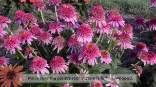 Echinacea Growing Tips from Walters Gardens