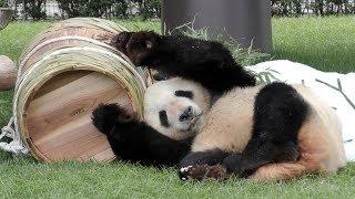 【🏮タルに夢中ッ💕】🐼パパパンダ永明さんの父の日イベント2018👔✨【いつもありがとう】 Giant Panda -Eimei-☆Happy Father's Day 2018✨ thumbnail