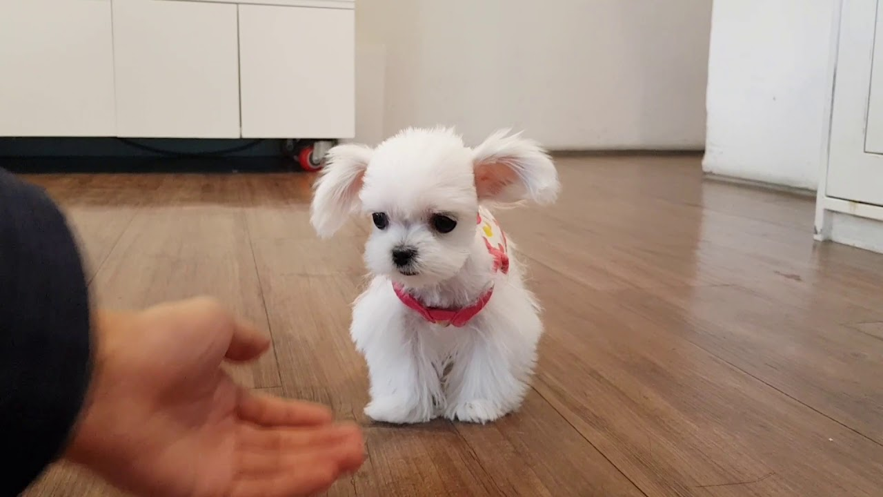 cutest teacup maltese videos tiny size dog - Teacup puppies