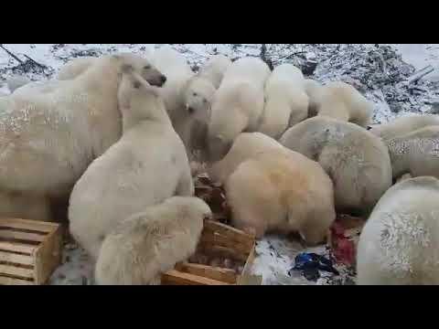 Russian Arctic town suffers POLAR BEAR INVASION, dozens of predators 'won't go away'