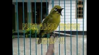 Video Pleci Gacor Ngotot download MP3, 3GP, MP4, WEBM, AVI, FLV September 2018