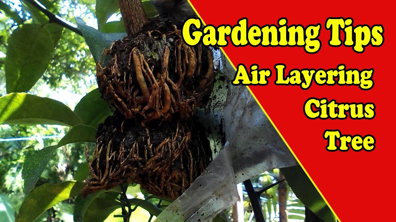 Air Layering Citrus Trees Video Tutorial With Result By