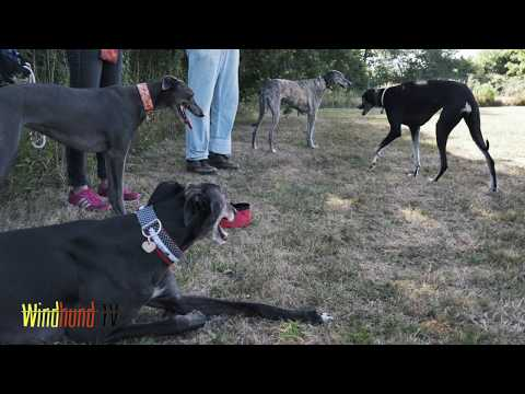 Sloughi Playdate 4/4 - Windhund TV