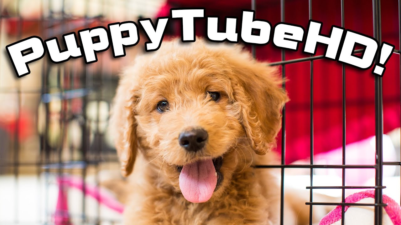 PuppyTubeHD!! Chloe the Goldendoodle Puppy in 4K!