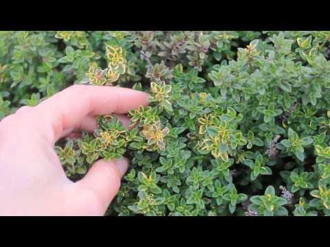 Тимьян — богородская трава. Чабрец. Описание, выращивание