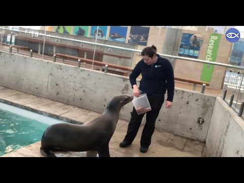 Virtual Visit: Training With Our California Sea Lions!