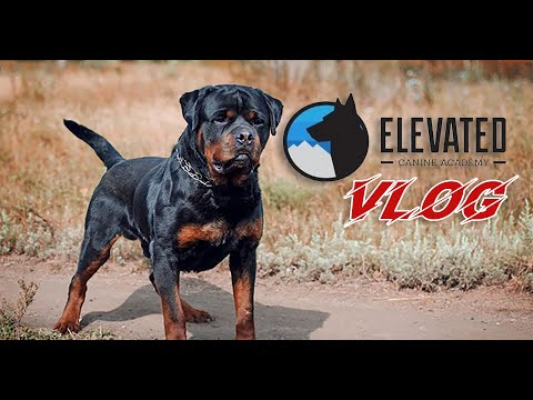 ELEVATED CANINE VLOG: A ROTTWEILER TRAINED FOR SUCCESS!!!