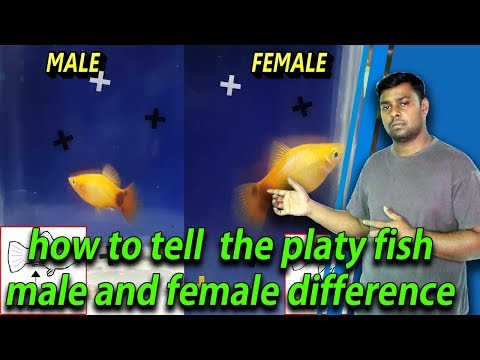 How To Tell The Platy Fish Male And Female Difference
