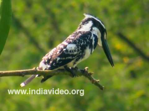 Pied Kingfisher or Ceryle rudis