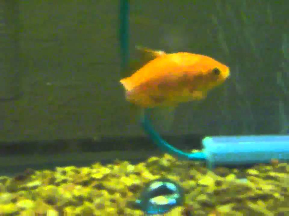 my goldfish pets Use the following search parameters to narrow your results: subreddit:subreddit find submissions in subreddit author:username find submissions by username.