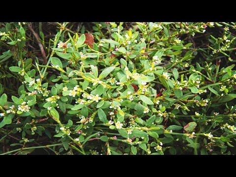 Спорыш (трава) — описание, полезные свойства, применение