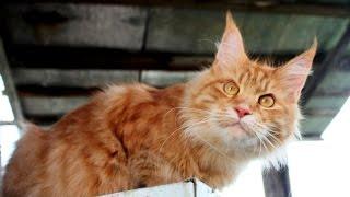 Рыжая Бестия , Красавица Кошка мейн-кун Леди 2,5 года Maine Coon (Animal Breed)