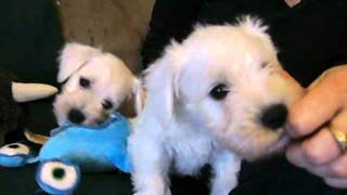 Rice's White Miniature Schnauzer Puppies Playing At 6 Weeks Old.