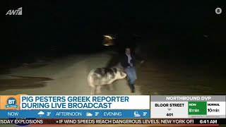 Pig Pesters Greek Reporter During Live Broadcast
