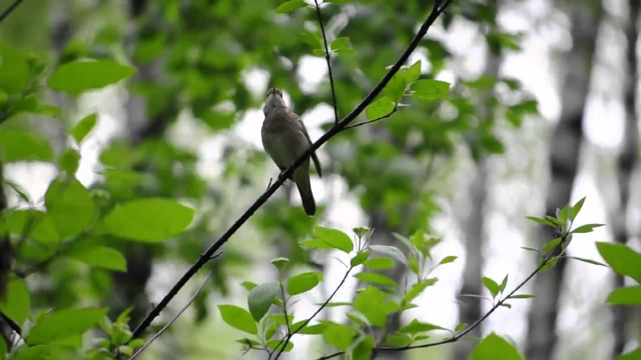 Скачать мелодии звуки природы пение птиц