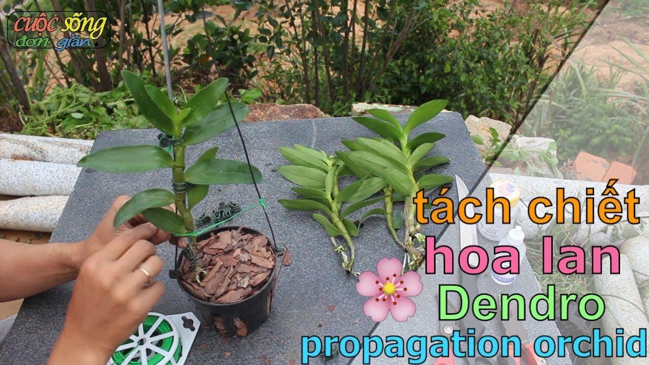 hướng dẫn tách chiết, nhân giống ( lan Dendro) đơn giản tại nhà - propagating dendro orchids