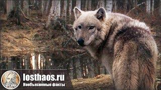 Оборотни в славянской мифологии — Как спасались от волколаков на Руси