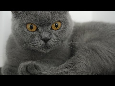 How to Care for a British Shorthair Cat - Providing Exercise and Stimulation