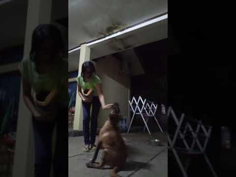 How To Train 3months Old Belgian Malinois Cara Melatih Anjing Belgian Malinois Umur 3bln Youtube