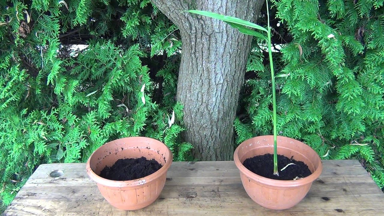 Ingwer Pflanzen Youtube