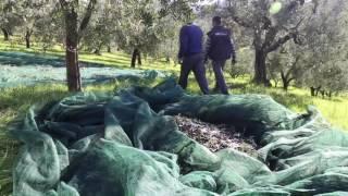 Raccolta delle olive per la produzione di Olio Sabina DOP - Azienda Agricola Frappetta - Nerola