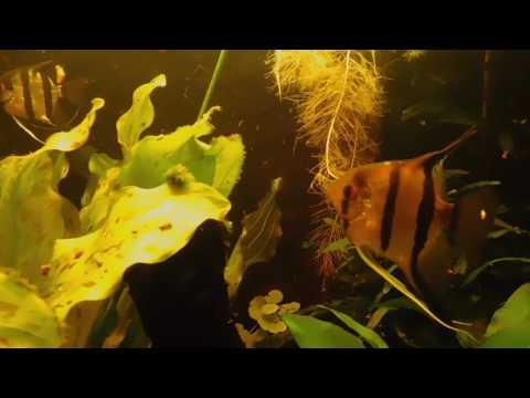 Zuid-Amerika  / Amazone / Rio Negro / biotoop aquarium  300 l / Altum Peru (9)