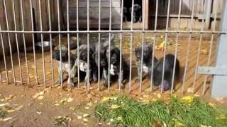 канарский дог (дого канарио) щенки фото питомник цена