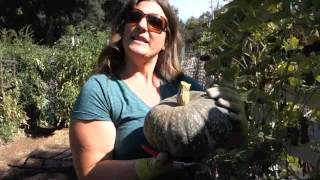 Harvesting and Storing Wiฑter Squash