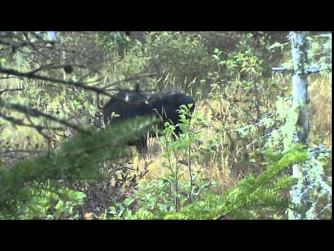 RAY MOOSE HUNT 2014 BEAR PAW OUTFITTERS NB CANADA