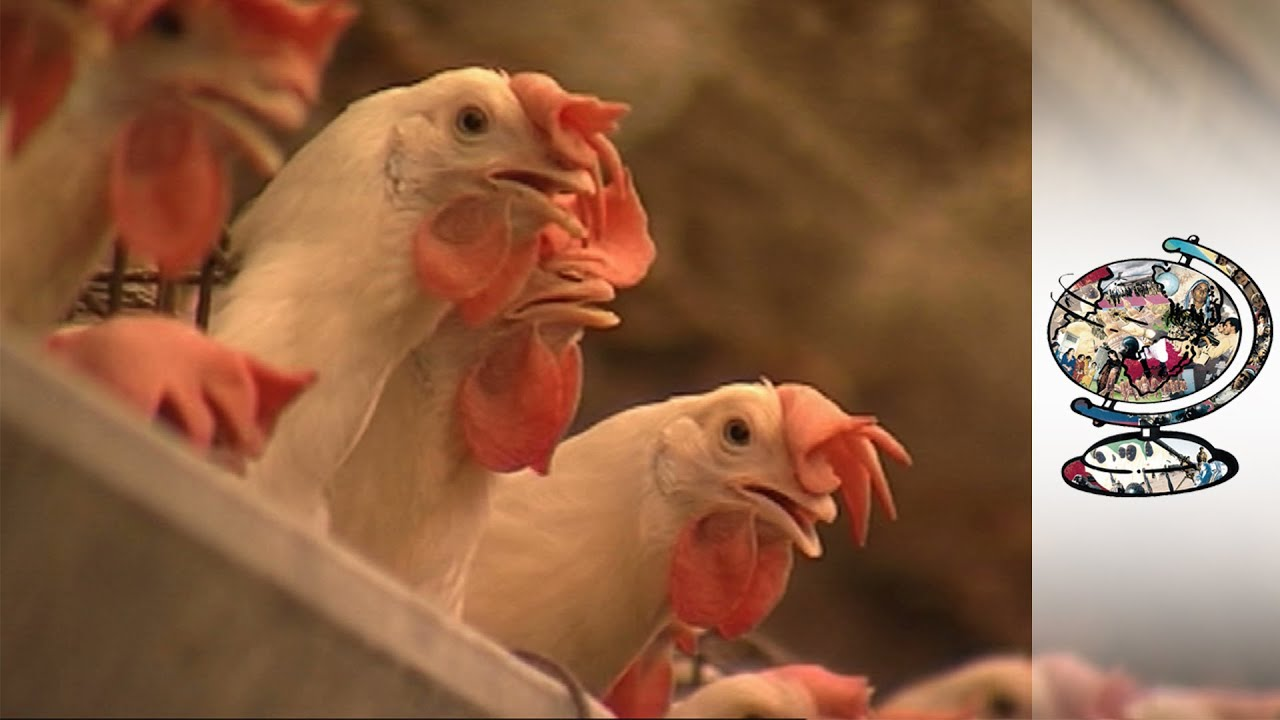 Imported Chicken is Driving African Farmers Out of Business