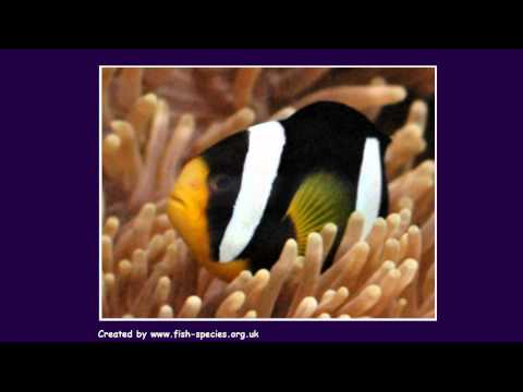 Clown Fish - Tropical Fish Species