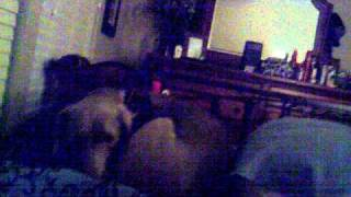 Sally Our Weimaraner Settling In Our Bed 9/7/11