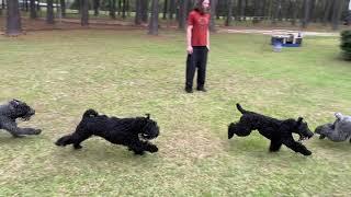 Kerry Blue Terriers VS Traxxas ERevo
