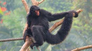 Сингапур, зоопарк паукообразная обезьяна. Singapore, zoo. Приколы про животных.