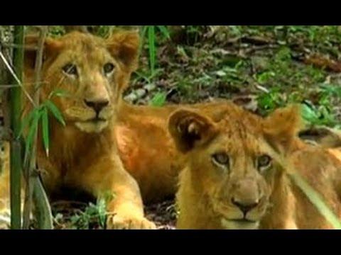 Lions,  Bannerghatta National Park, Bengaluru