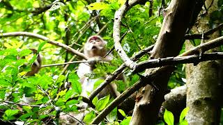 So sad all monkey cannot stop fighting more on the tree | Pity for the forest group monkey fight