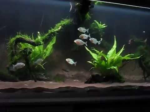 Exceptional Mein Piranha Aquarium/ My Piranha Tank