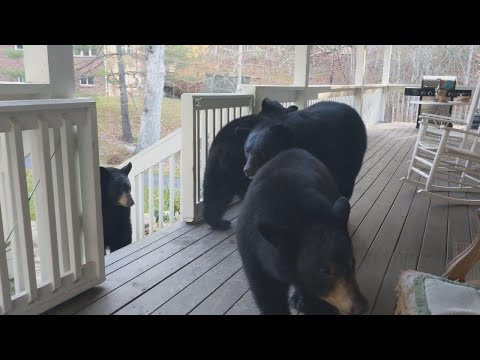 4 Bears Stop by North Carolina Home for Lunch Nearly Every Day
