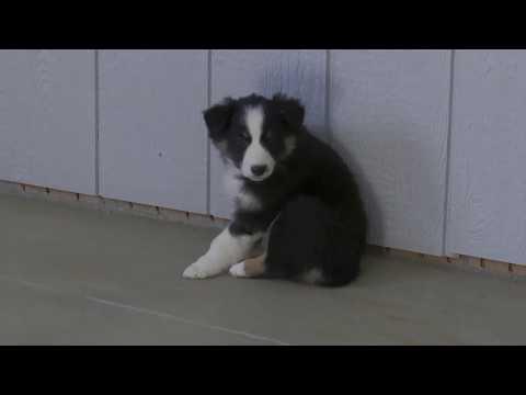 Allen Yoder's Australian Shepherd Pups
