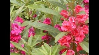 133- How to grow GULMEHNDI /Balsam /Impatiens in pots & bottles (Hindi /Urdu) 9/9/16