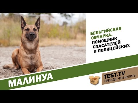 TEST.TV: Все для животных. Малинуа не диванная собака.