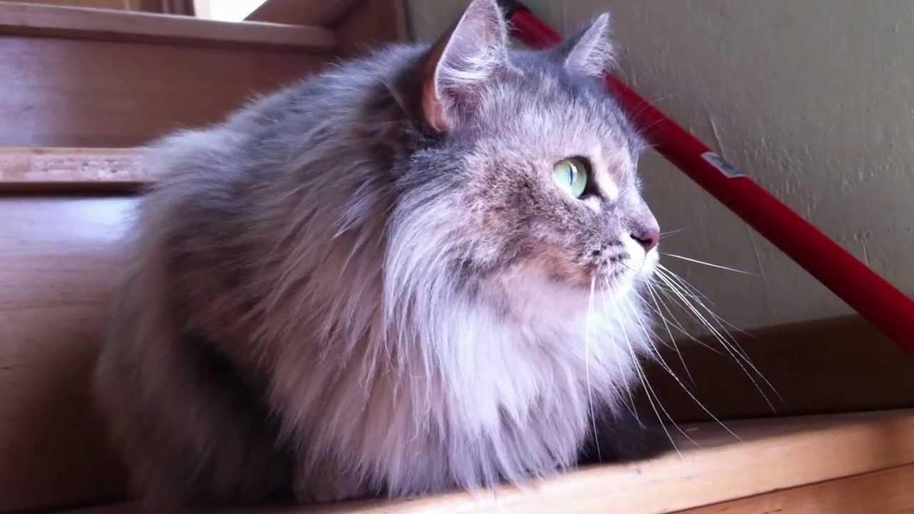 Elegant Gatto Che Miagola
