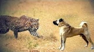 FUN 2017:家畜を保護し守る犬 - このビデオは、家畜を最も危険な動物の...