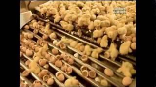 Как это сделано - Цыплята(Бройлеры, несушки, цыплята суточные ОПТОМ с доставкой в регионы http://inkubator56.ru., 2012-01-16T19:33:52.000Z)