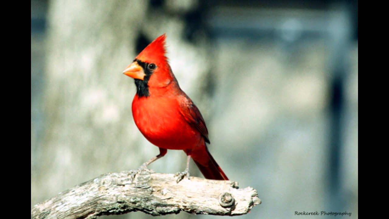 five common oklahoma birds youtube
