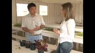 Como plantar alface em casa