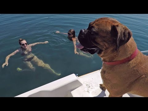 Boxer dog on a boat for the first time 🐶