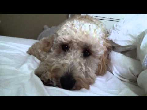 Mornings with our goldendoodle Sully