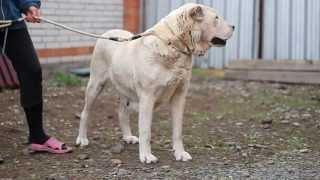 Утуш / Central Asian Shepherd dog Utush